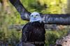 Bald Eagle #7926