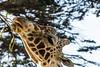 Giraffes - SF Zoo #7794
