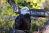 Bald Eagle #7938