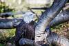 Bald Eagle #7921