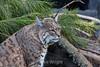 Bobcat - SF Zoo #7906