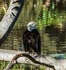 Bald Eagle #7098