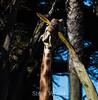 Giraffes - SF Zoo #7008