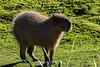 Tapir - SF Zoo #7094