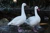 Snow Geese #7120