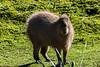 Tapir - SF Zoo #7092
