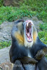 Mandril - SF Zoo #7065