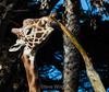 Giraffes - SF Zoo #7012