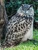 Eurasian Eagle Owl #7108