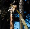 Giraffes - SF Zoo #7007