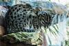 Fishing Cat - SF Zoo #7088
