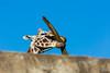 Giraffes - SF Zoo #7022