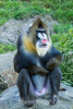 Mandril - SF Zoo #7060