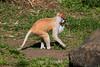 Patas Monkeys - SF Zoo #1692