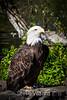 Bald Eagle #2165