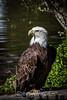 Bald Eagle #2180
