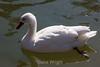Snow Goose - SF Zoo #1743