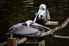 Brown Pelicans #2134