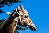 Giraffe - SF Zoo #1591