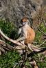 Patas Monkeys - SF Zoo #1686