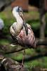 African Spoonbills  #1763