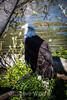 Bald Eagle #1920