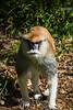 Patas Monkey - SF Zoo #9036