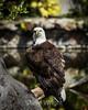 Bald Eagle #9096
