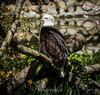 Bald Eagle #9113