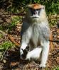 Patas Monkey - SF Zoo #9038