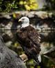Bald Eagle #9097