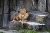 Lion - SF Zoo #9059