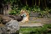 Tiger - SF Zoo #9070