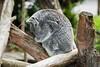Koala - SF Zoo #9167