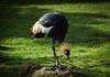 East African Crane #8886