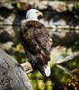 Bald Eagle #9091