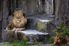 Lion - SF Zoo #9061