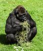 Western Lowland Gorillas - SF Zoo #8938
