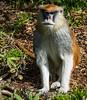 Patas Monkey - SF Zoo #9051