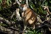Patas Monkey - SF Zoo #9024