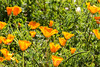 California Golden Poppy - SF Zoo #3131