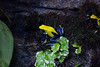 Dying Dart Frog - SF Zoo #3212