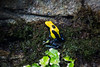 Dying Dart Frog - SF Zoo #3216