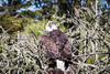 Bald Eagle #3191