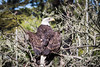 Bald Eagle #3196