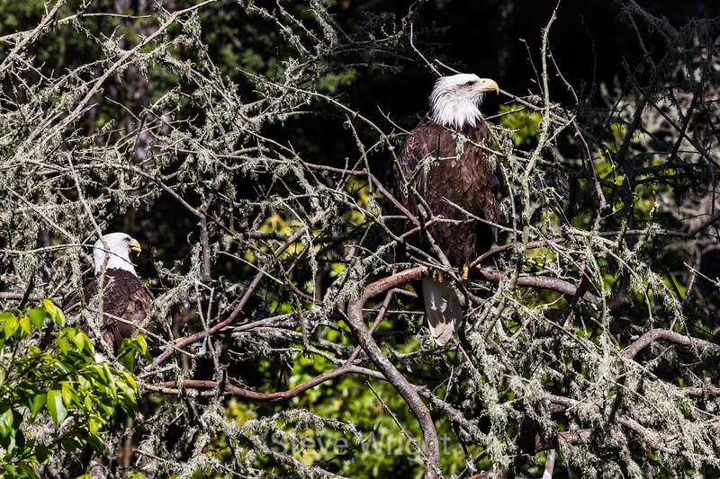 Bald Eagle #3181