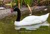 Black Neck Swans - SF Zoo #0147
