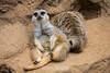 Meerkats - SF Zoo #0267