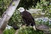 Bald Eagle #0163