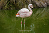 Flamingos #0238
